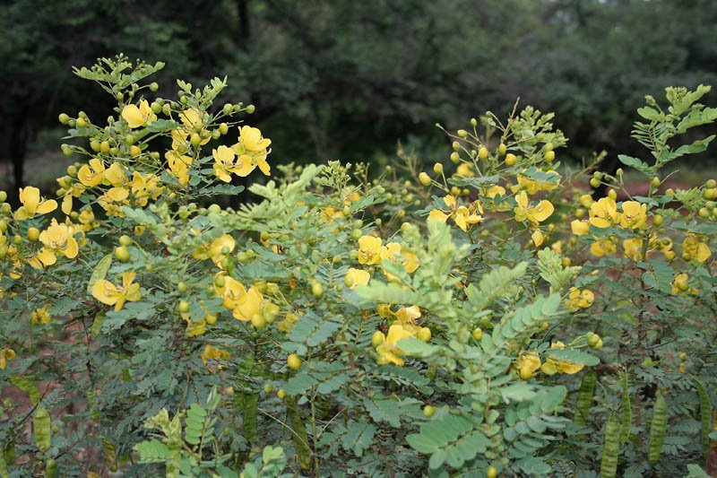 planta senna auriculata diabetes