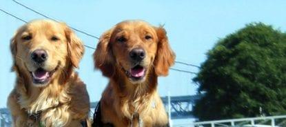 dogs4diabetics cachorro diabetes